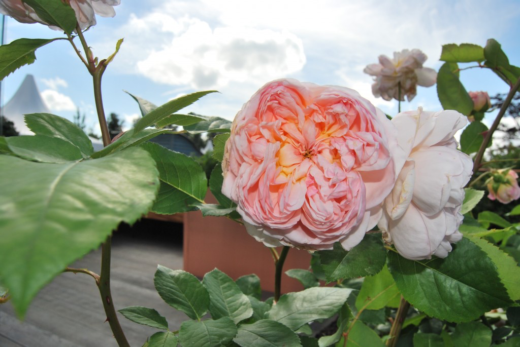 RHS Hampton Court Flower Show roses